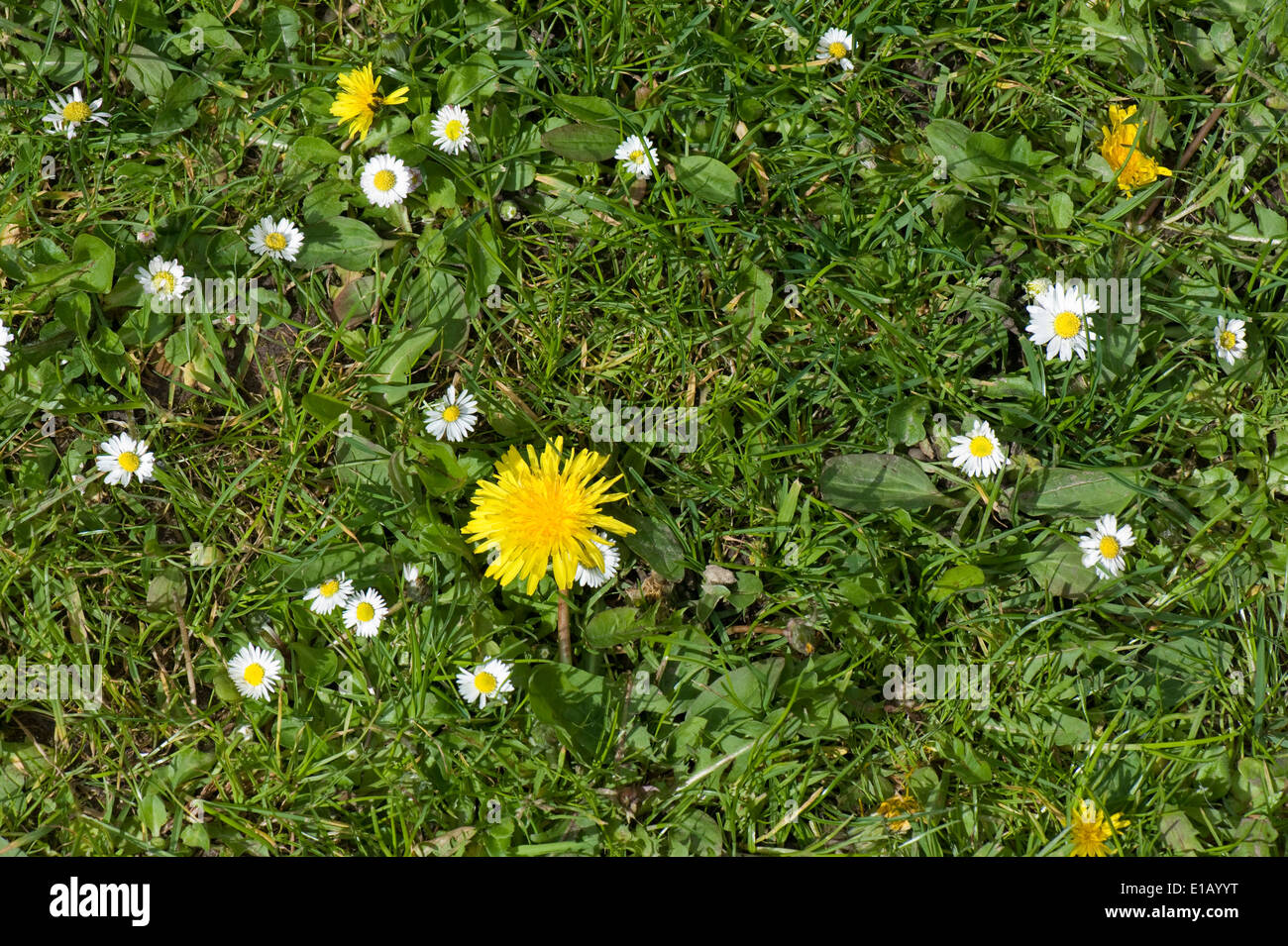 Flowering dandelions and daisies in a rough garden lawn in spring - Stock Image