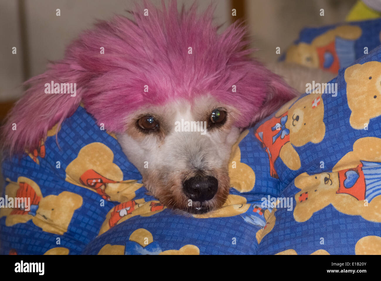 Amusing poodle dog with dyed pink hair - Stock Image
