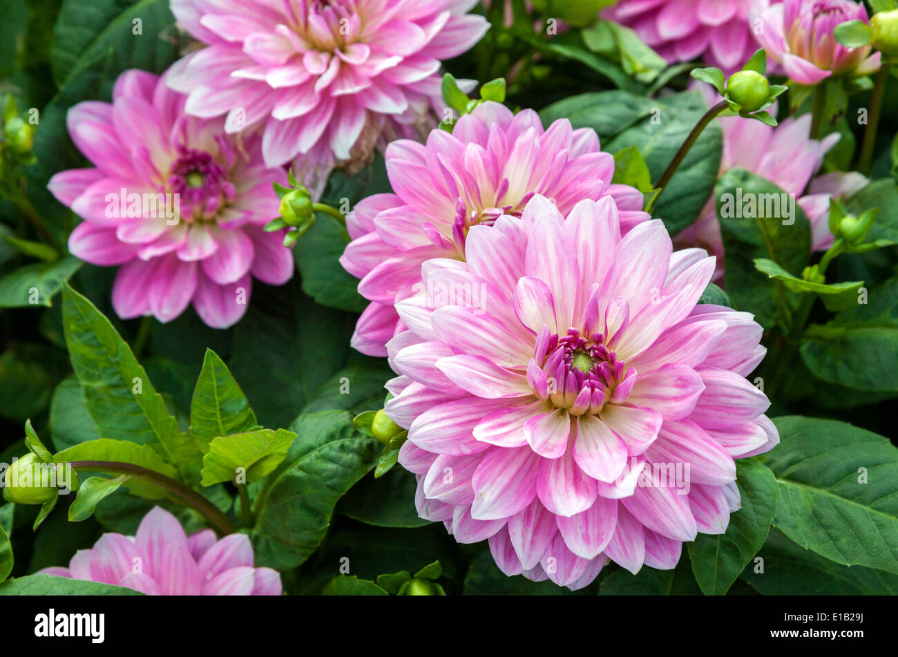 Dahlia leaves stock photos dahlia leaves stock images alamy pink dahlia flowers closeup with green leaves stock image izmirmasajfo