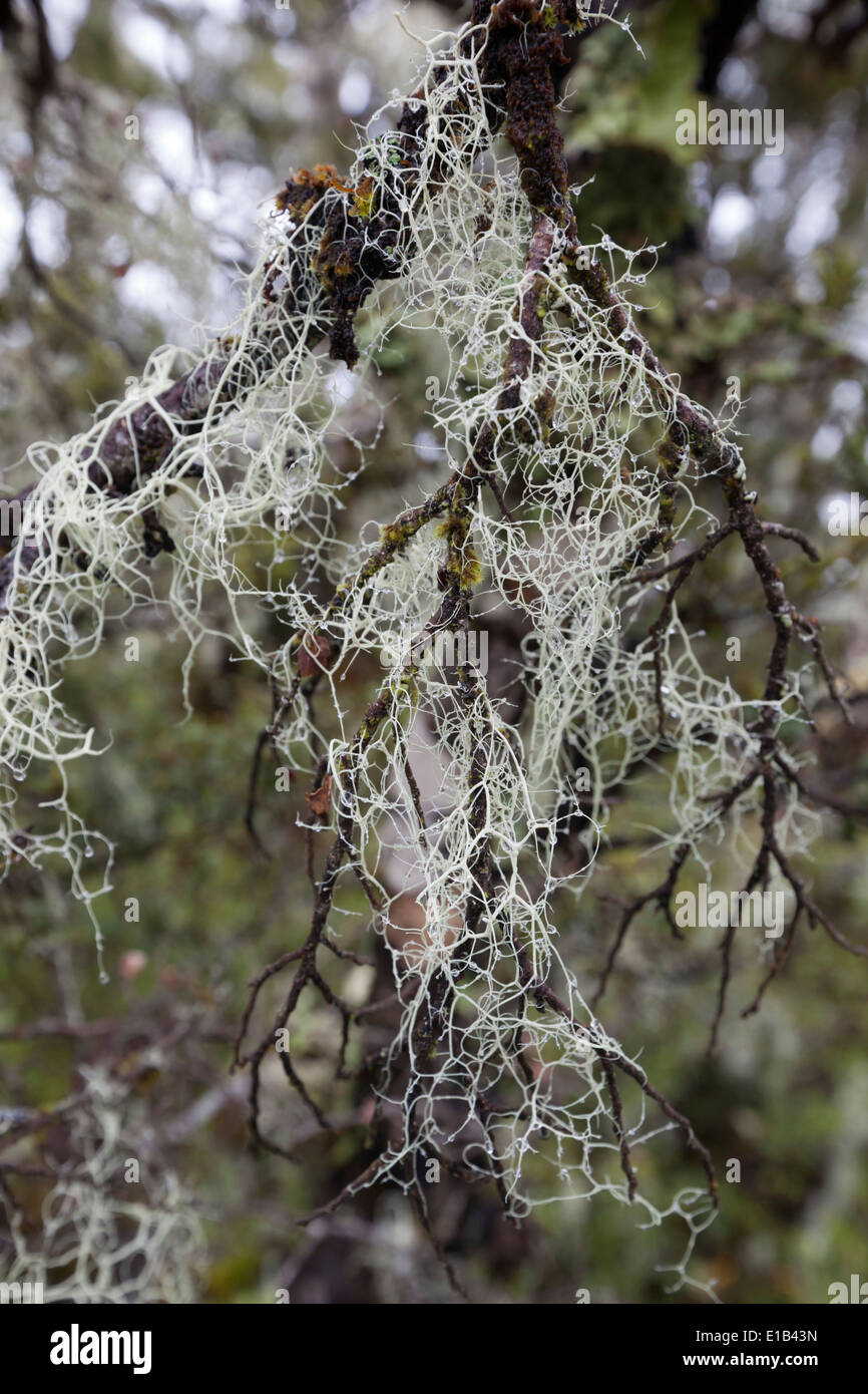 Usnea growing on tree branch Stock Photo
