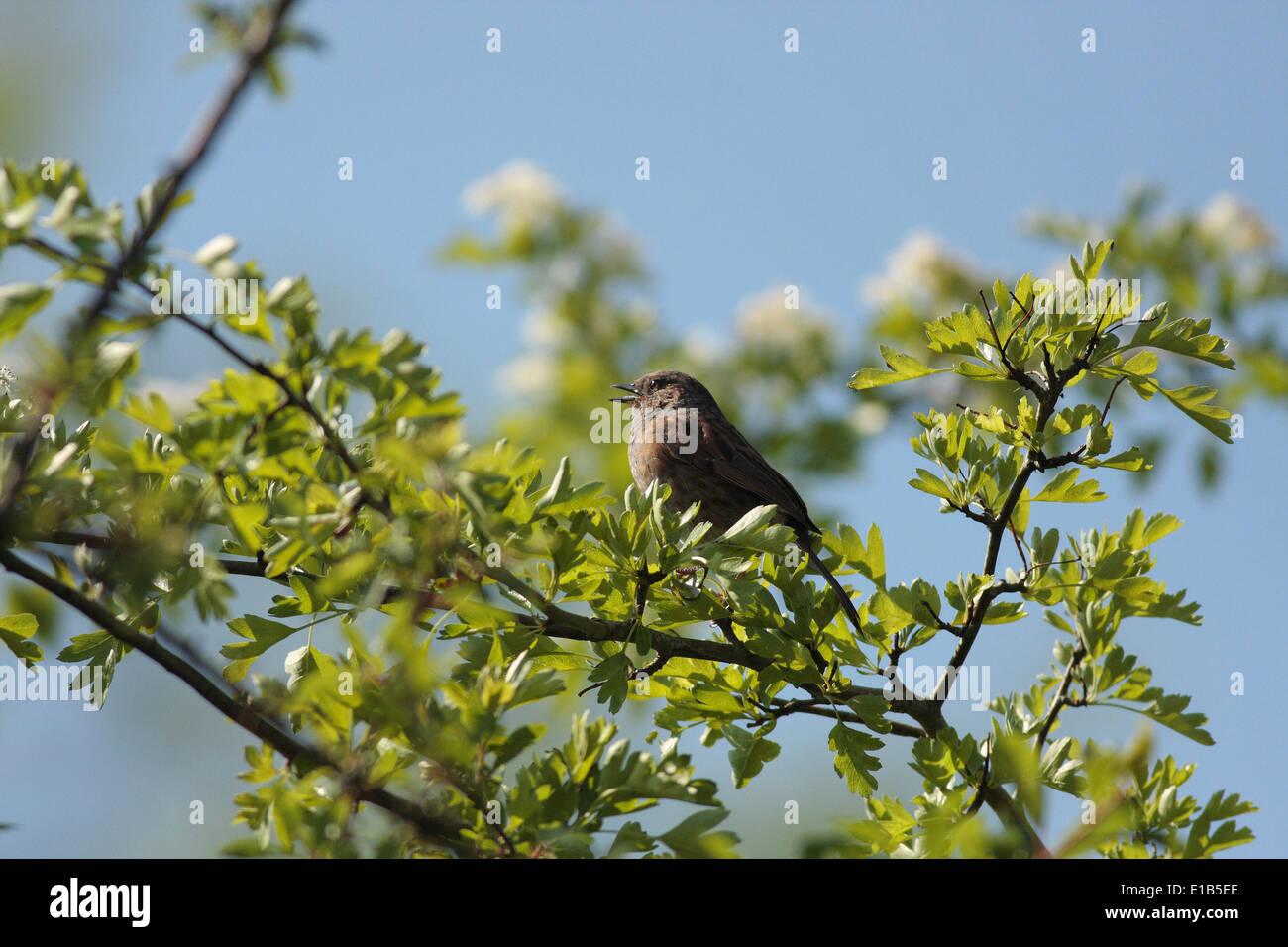 Hedge Sparrow Dunnock prunella modularis song birds songster Irish UK European hedgerow birds garden birds hawthorn white thorn - Stock Image