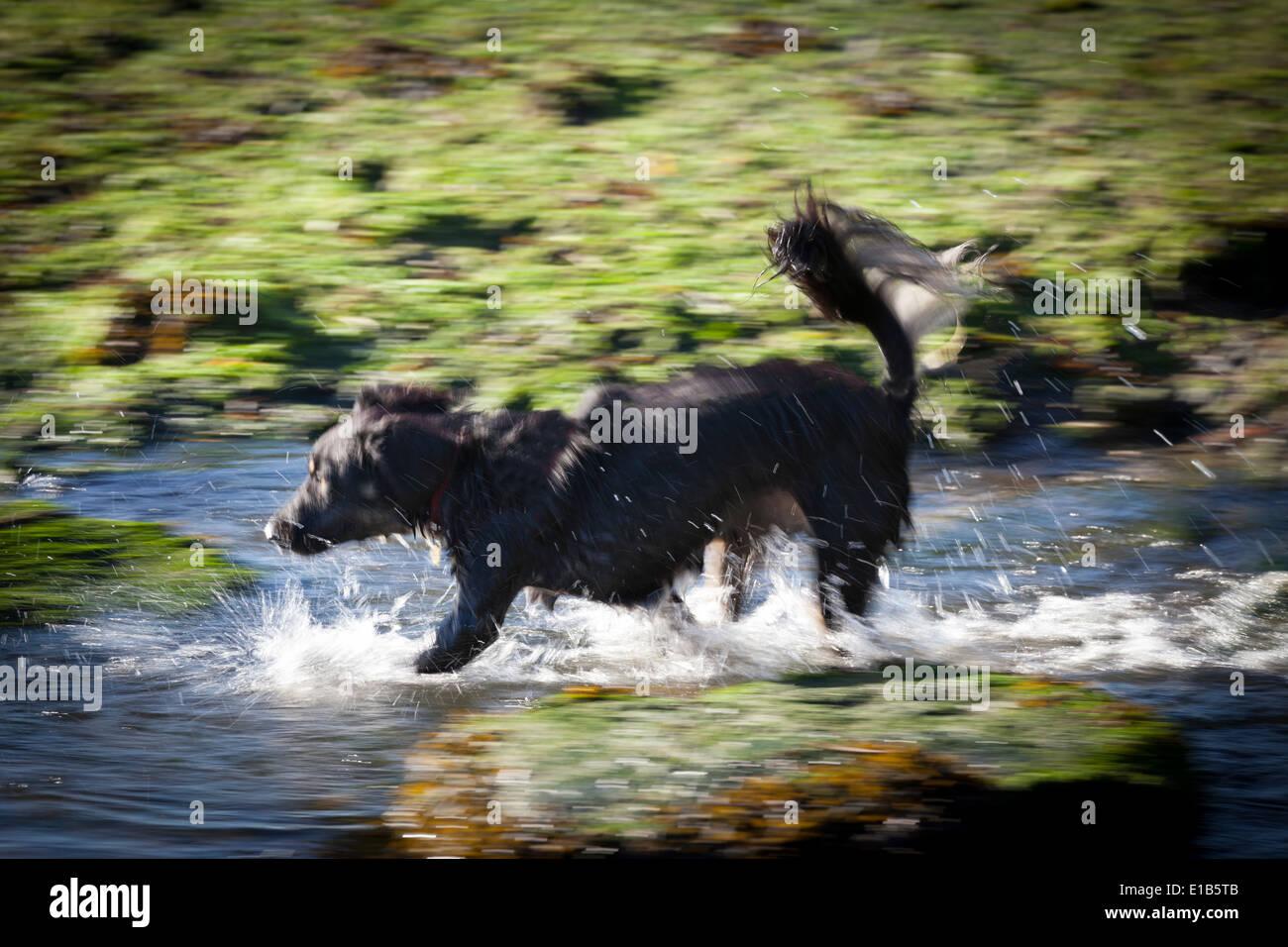Wet collie type dog running through water having fun. - Stock Image