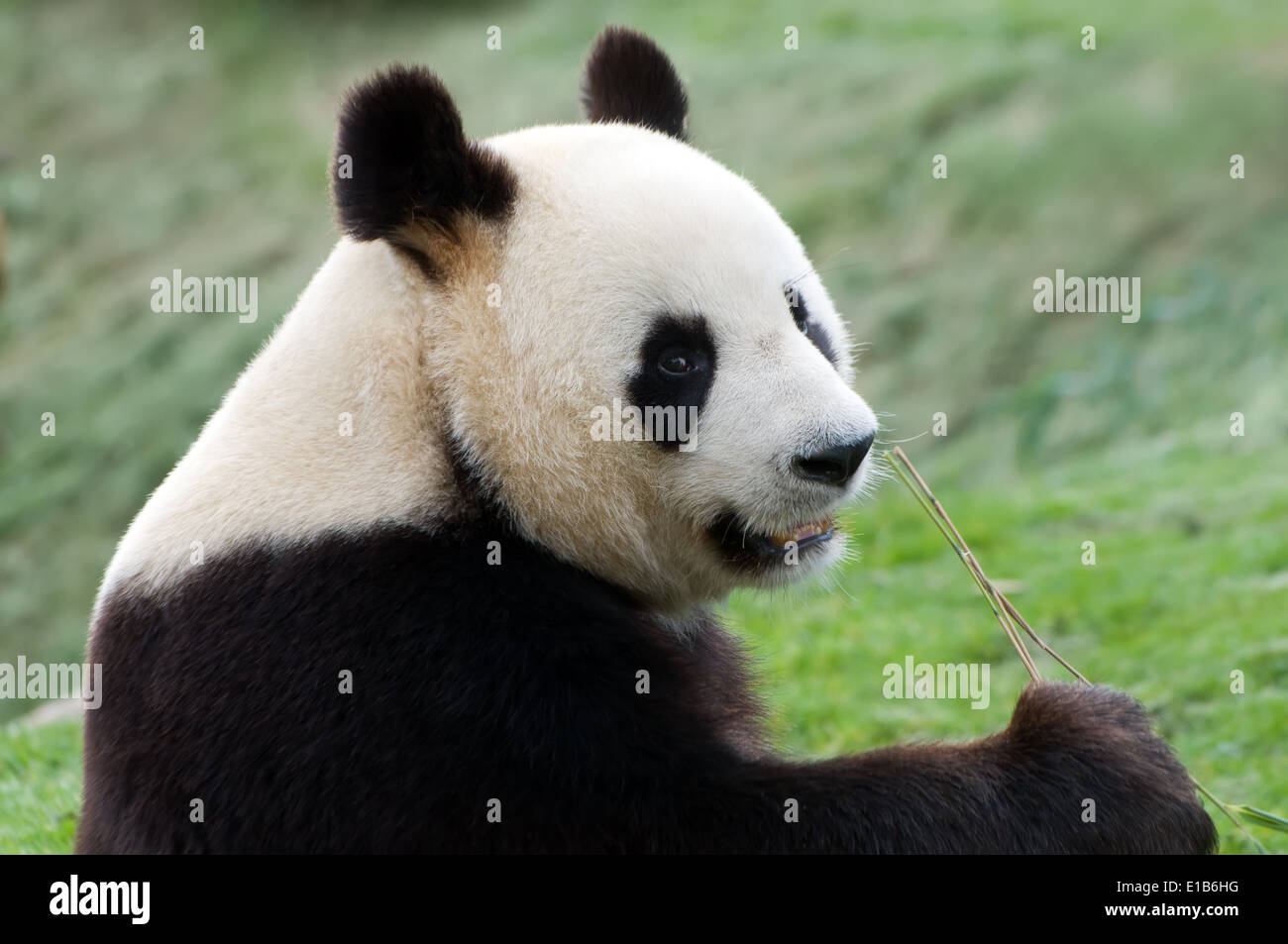 rare adult big panda eating bamboo Stock Photo