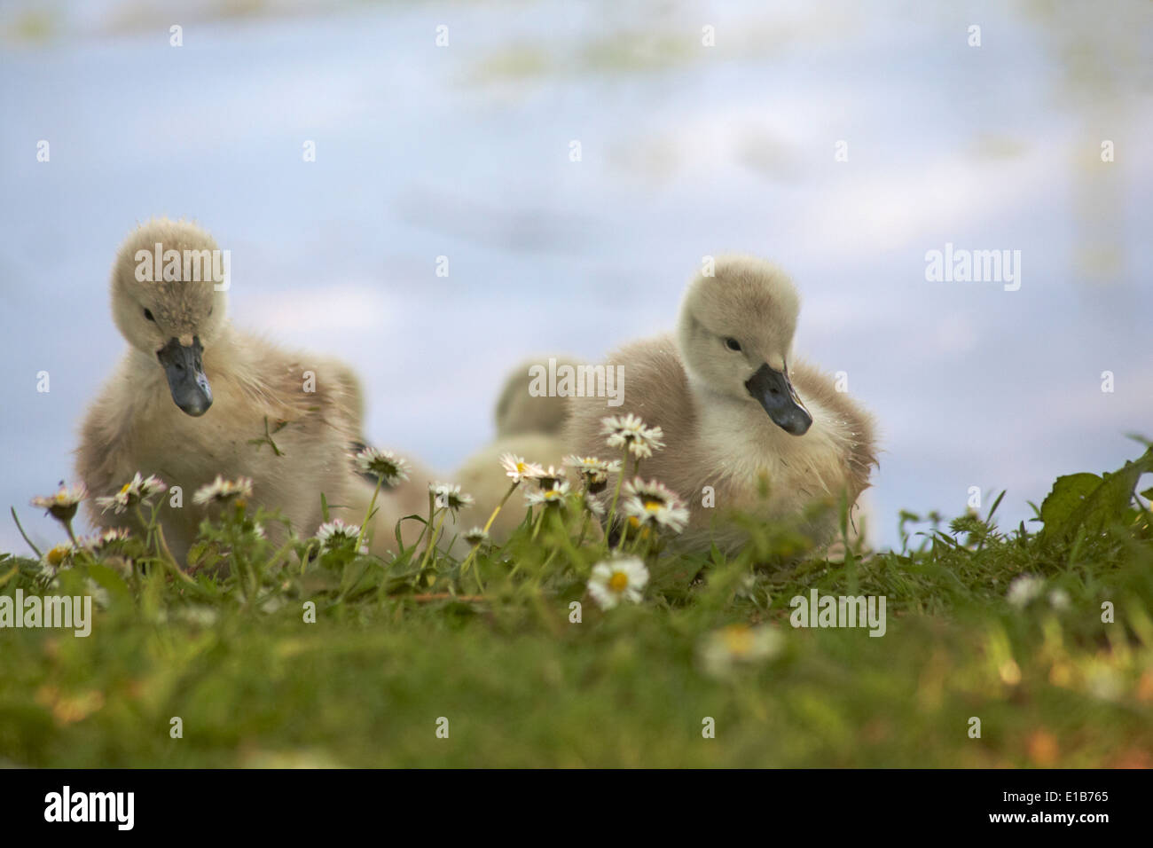 Cute fluffy cygnet cygnets, baby swans swan, walking on grass at Abbotsbury Swannery Dorset UK in May.  Mute swans Stock Photo