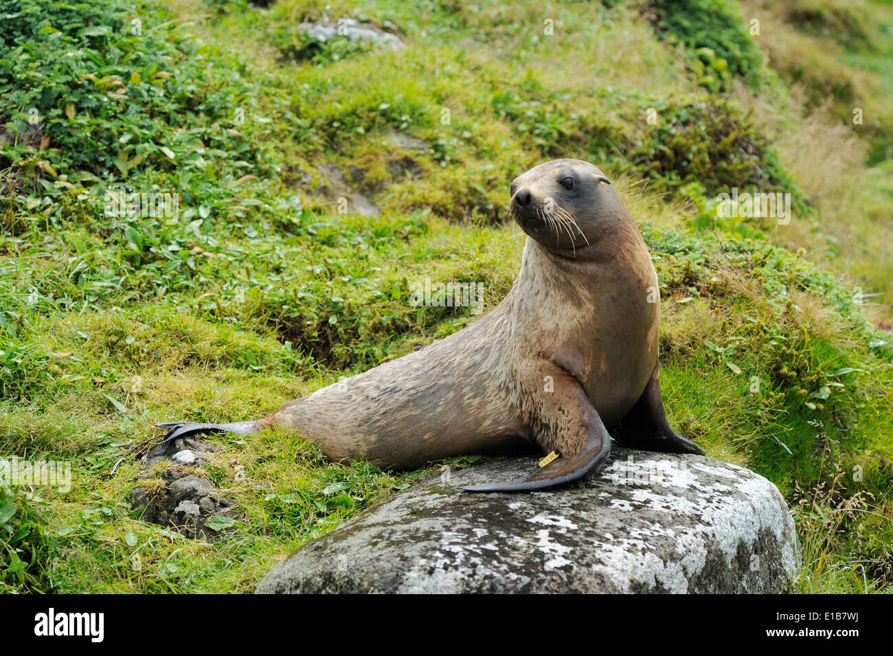 Hooker's Sealion (Phocarctos hookeri) between grass sitting on a rock. - Stock Image