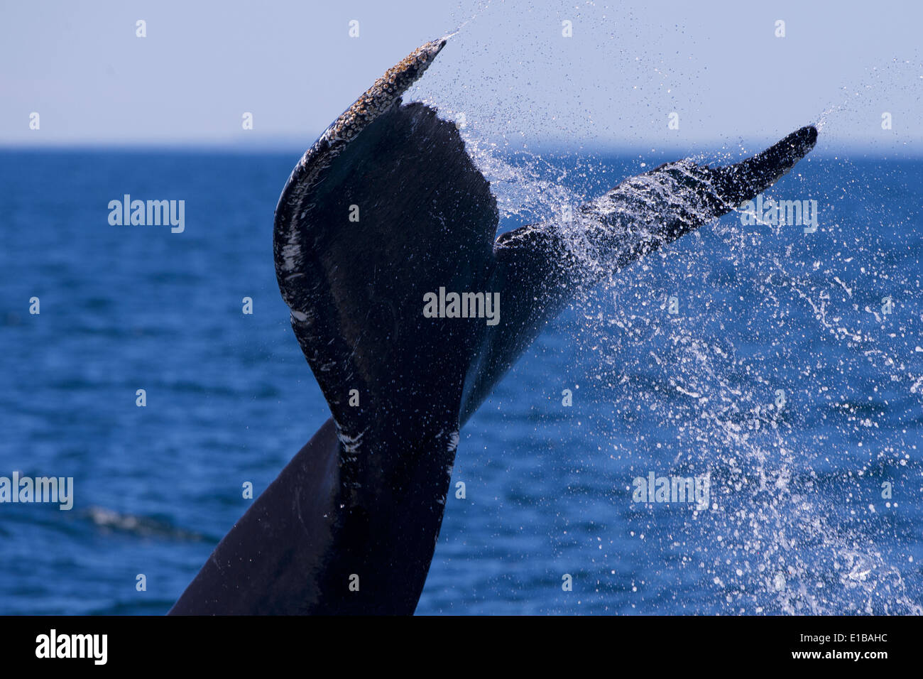 Humpback Whale (Balaenoptera novaeangliae)  slapping its fluke against the surface of the water, behaviour known as lobtailing. - Stock Image