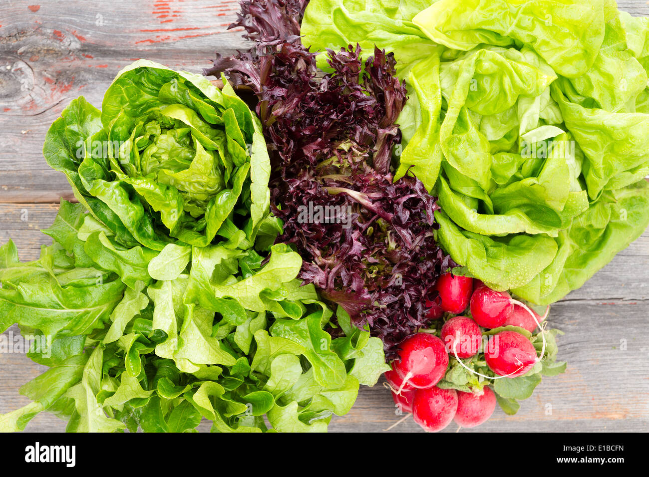 Overhead view of heads of assorted leafy fresh lettuce with a bunch of crisp red radishes arranged on old rustic wooden boards i - Stock Image