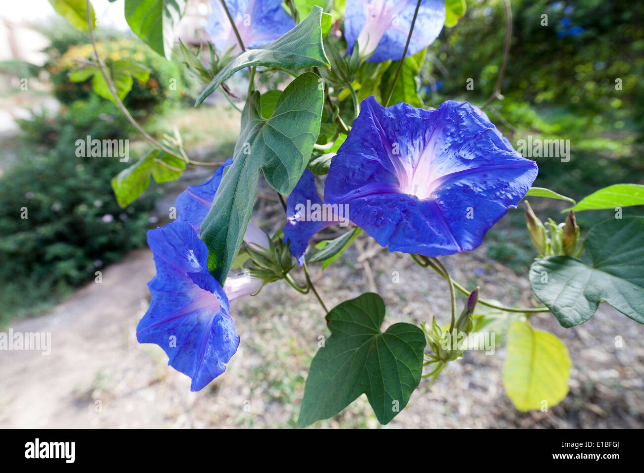 Close up of ivy morning glory with blue flowers stock photo close up of ivy morning glory with blue flowers izmirmasajfo Choice Image