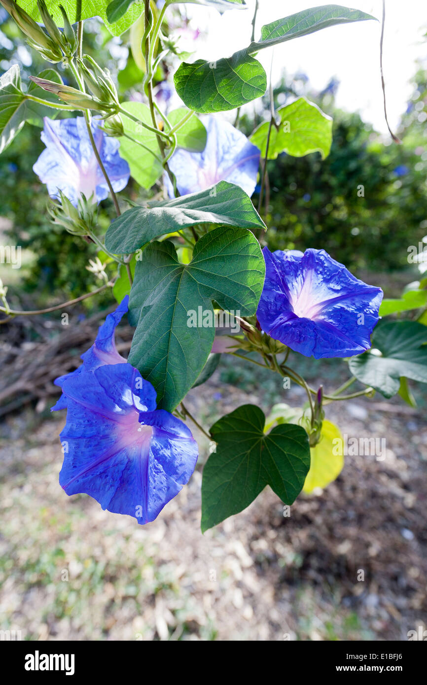 Close up of Ivy Morning Glory with blue flowers - Stock Image