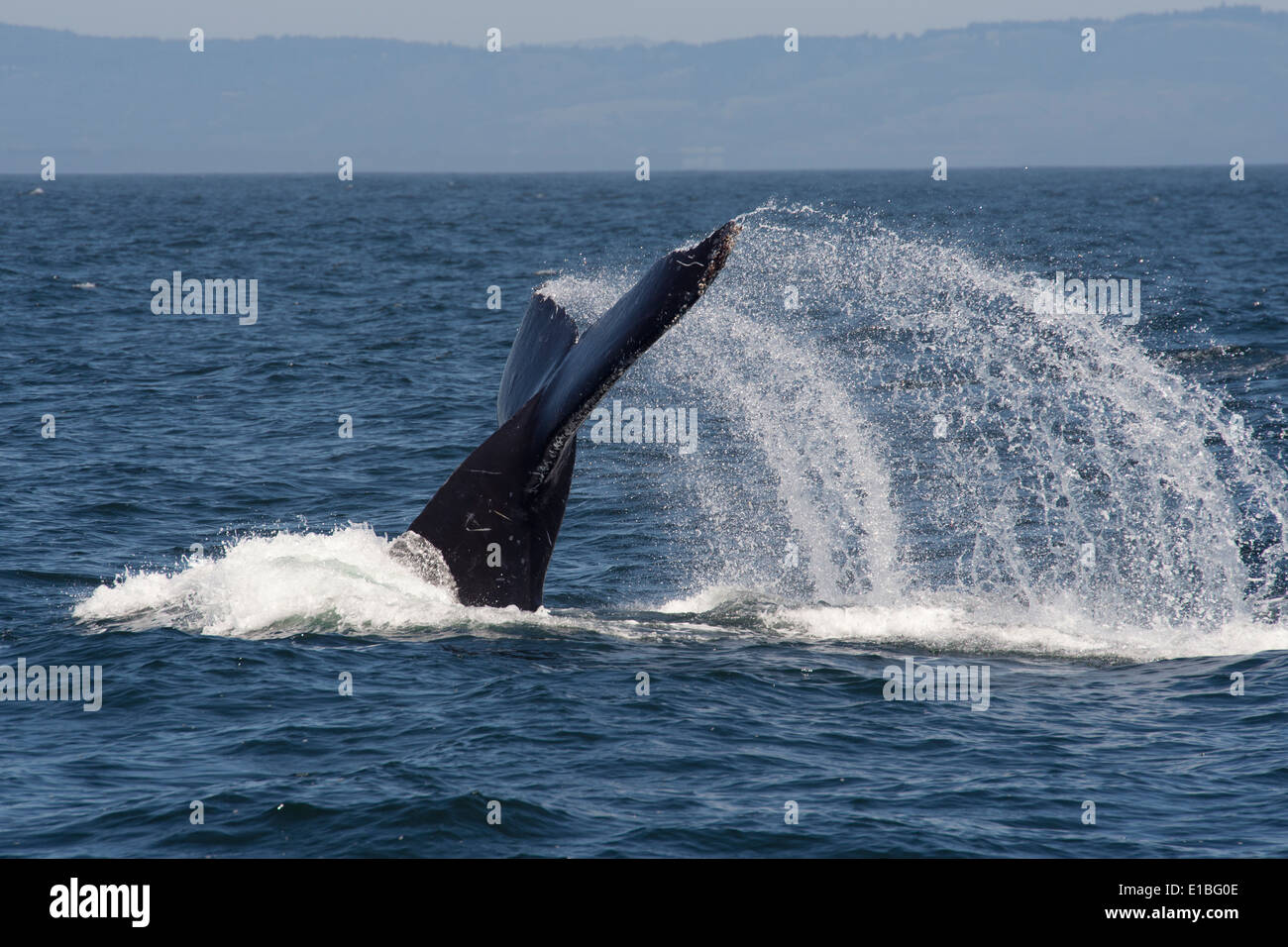 Humpback Whale (Megaptera novaeangliae) lob-tailing. Monterey, California, Pacific Ocean. - Stock Image