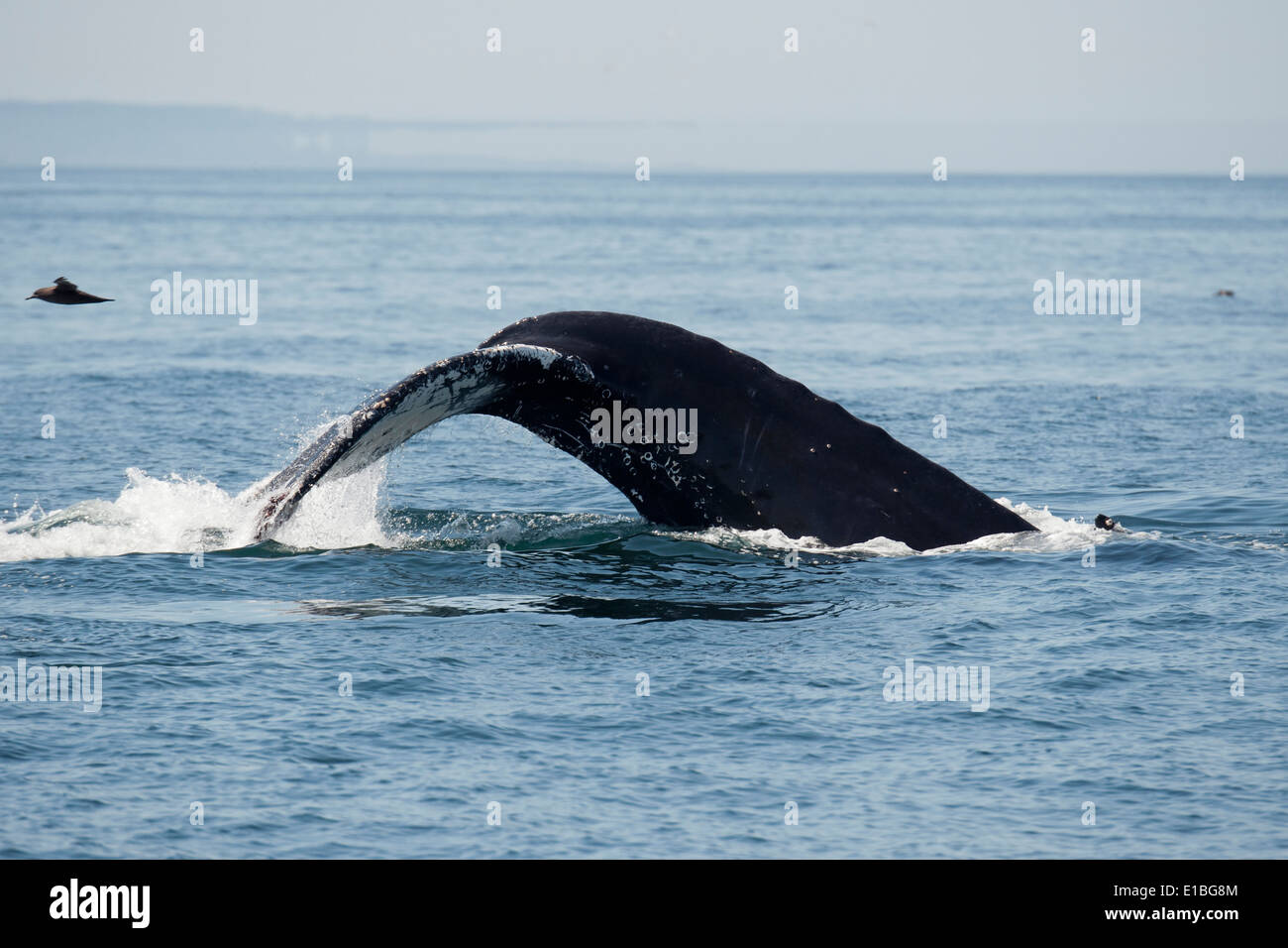 Humpback Whale (Megaptera novaeangliae) fluking, with mirage in background. Monterey, California, Pacific Ocean. - Stock Image