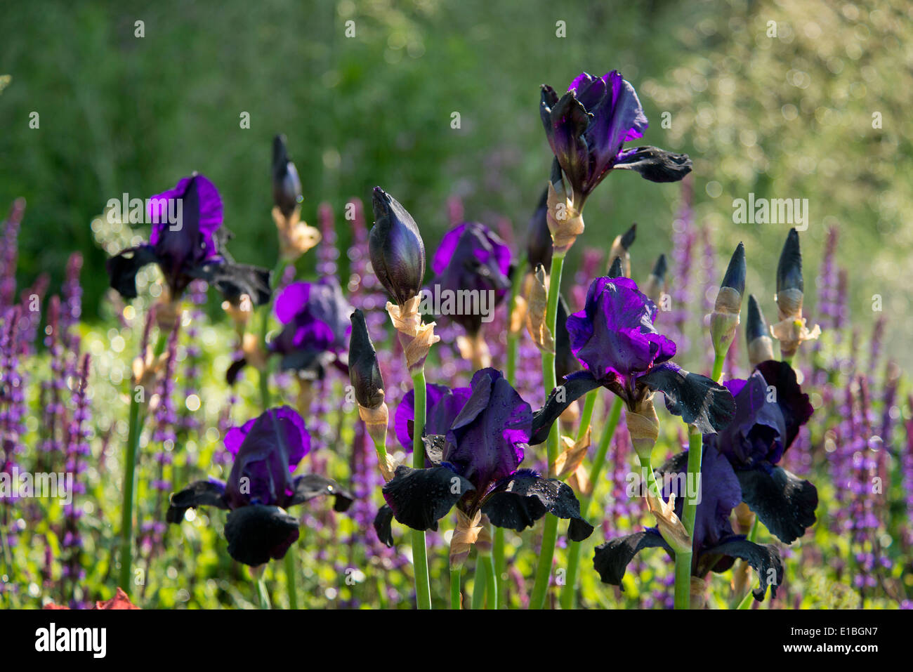 Iris germanica 'Deep Black' in the Cloudy Bay Garden at the RHS Chelsea Flower Show 2014, London UK - Stock Image