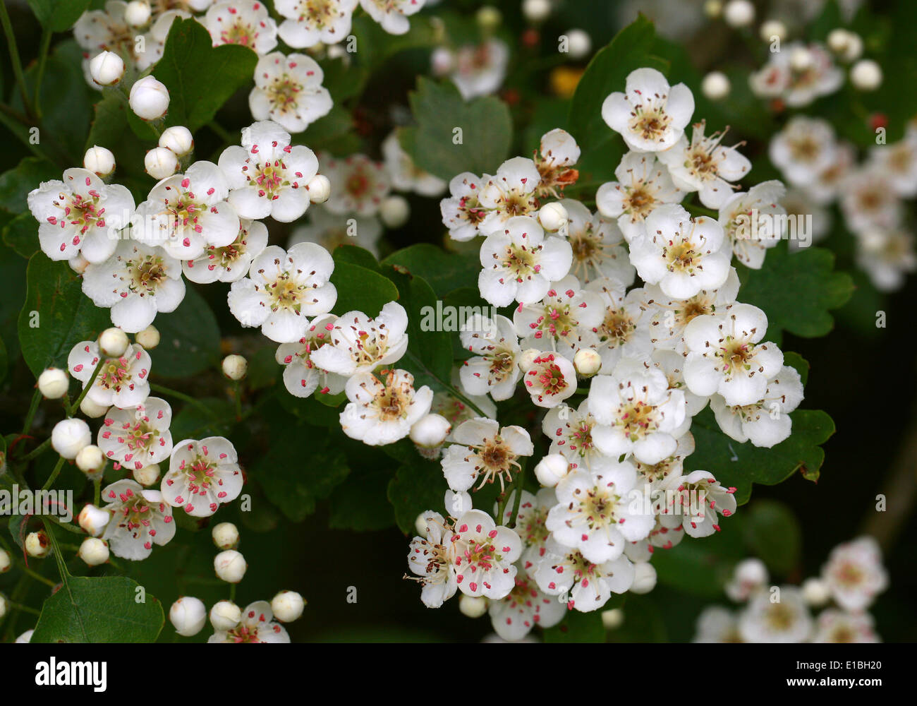 Common Hawthorn Tree in Flower, Crataegus monogyna, Rosaceae Stock Photo
