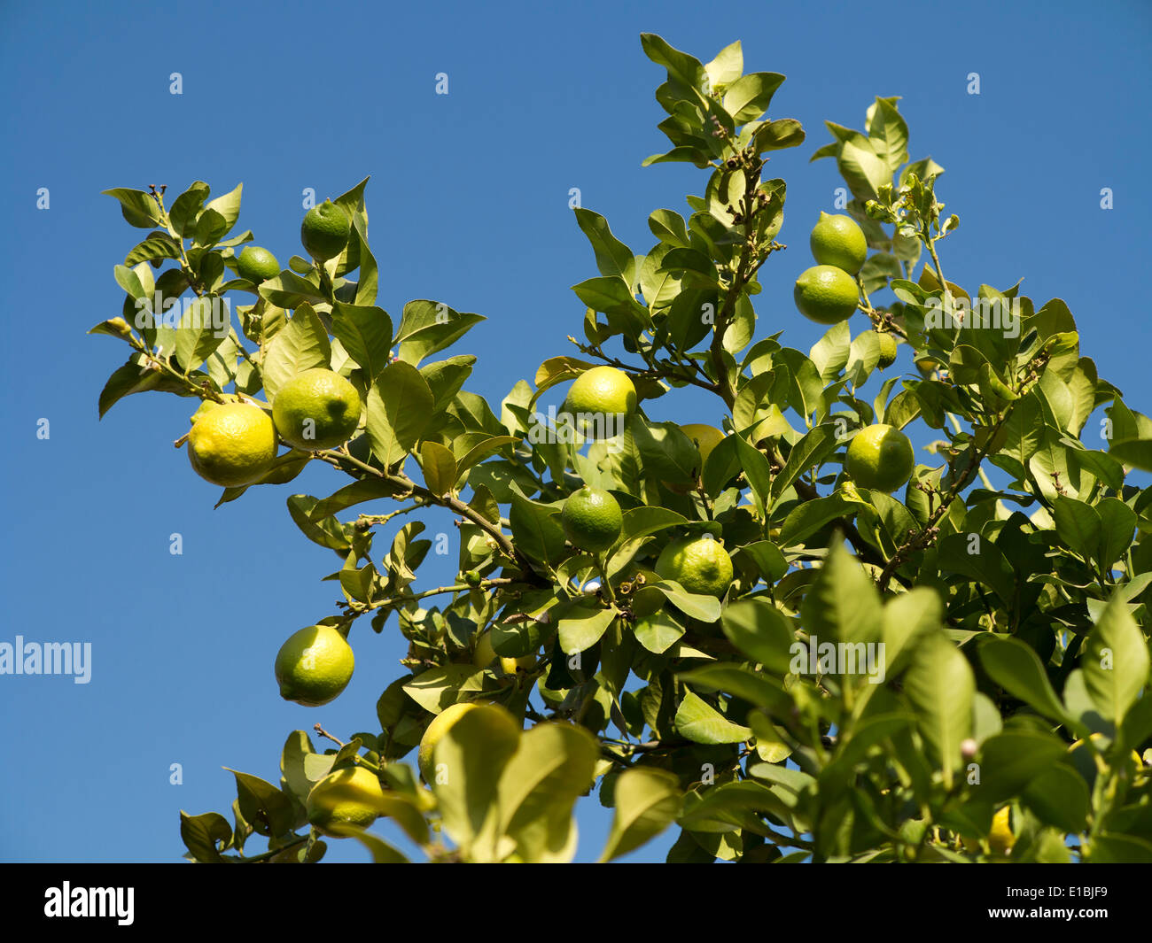 Detail of the top section of a lemon tree with fruit against a rich blue sky - Stock Image