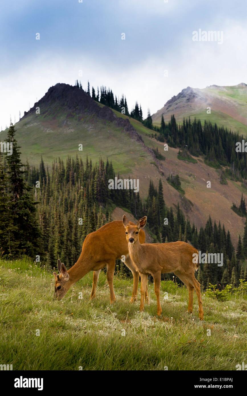 Columbian black tailed deer, Blue Mountain, Olympic National Park, Washington, USA - Stock Image