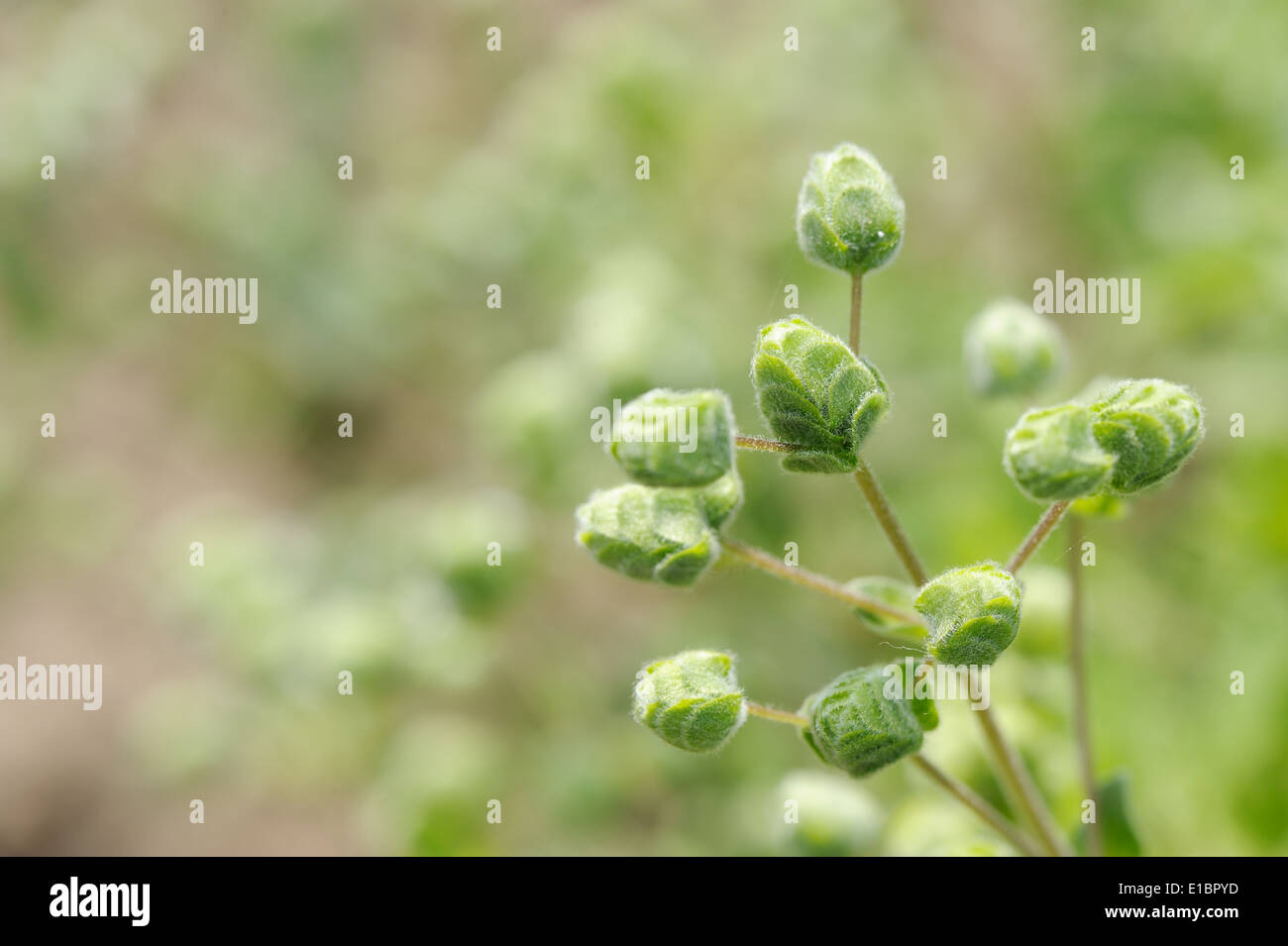 marjoran, top of the Plant, inflorescence close-up - Stock Image