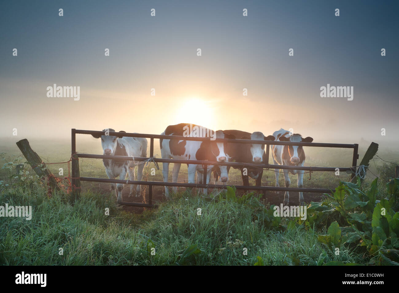 cows on misty pasture behind fence at sunrise - Stock Image