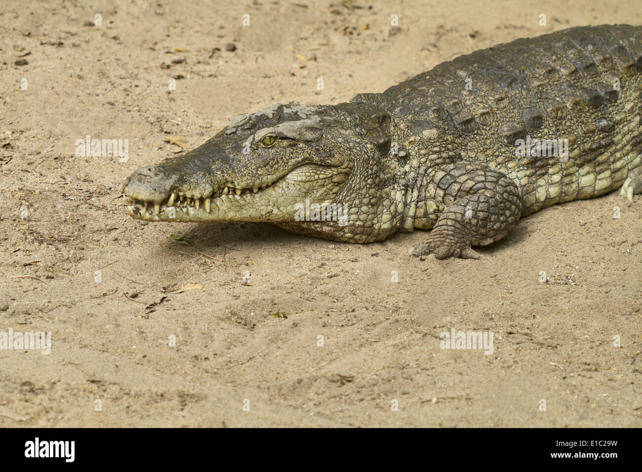Saltwater crocodile, estuarine crocodile, Crocodylus porosus basking in sun. Mammalapuram, Tamil Nadu, India - Stock Image