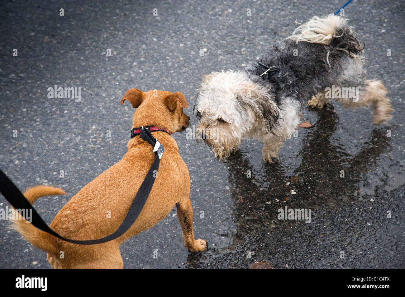 2 small dogs meeting on the street - Stock Image