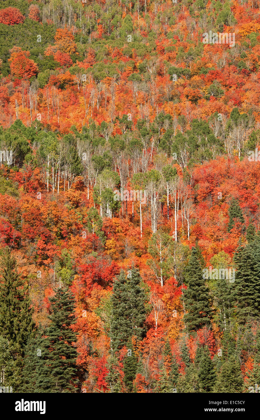 Maple and aspen trees in full autumn foliage in woodland. Stock Photo
