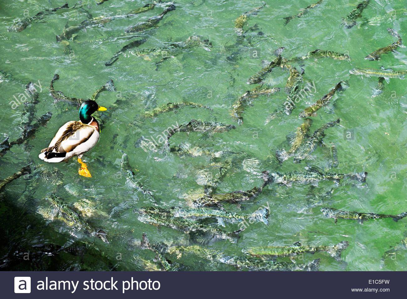 Mallard duck swims above trout in the pond at Mespelbrunn Castle, Germany. Stock Photo
