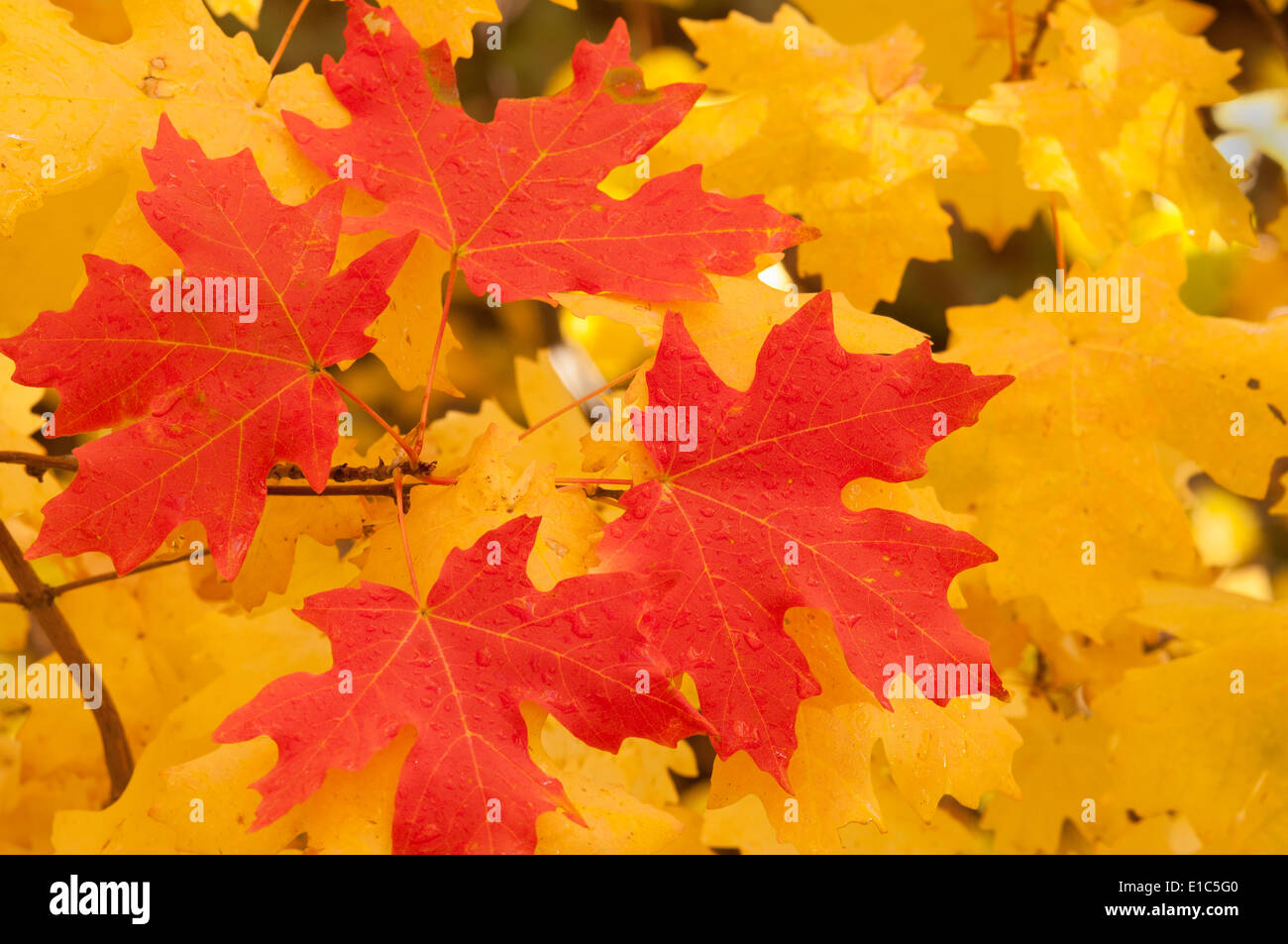 Vivid coloured maple leaves in autumn. - Stock Image