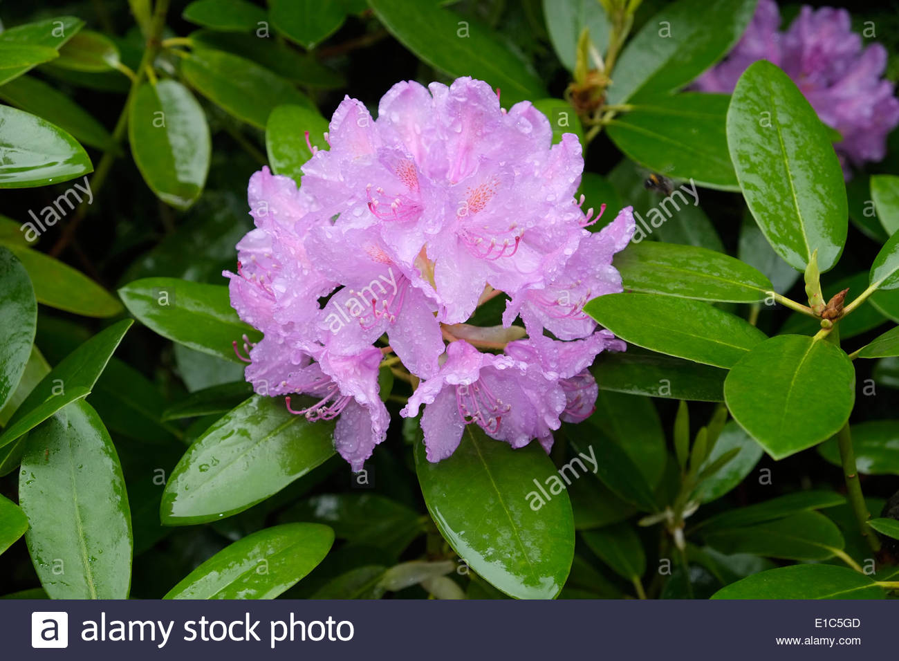 Rhododendron flower is wet with raindrops. - Stock Image
