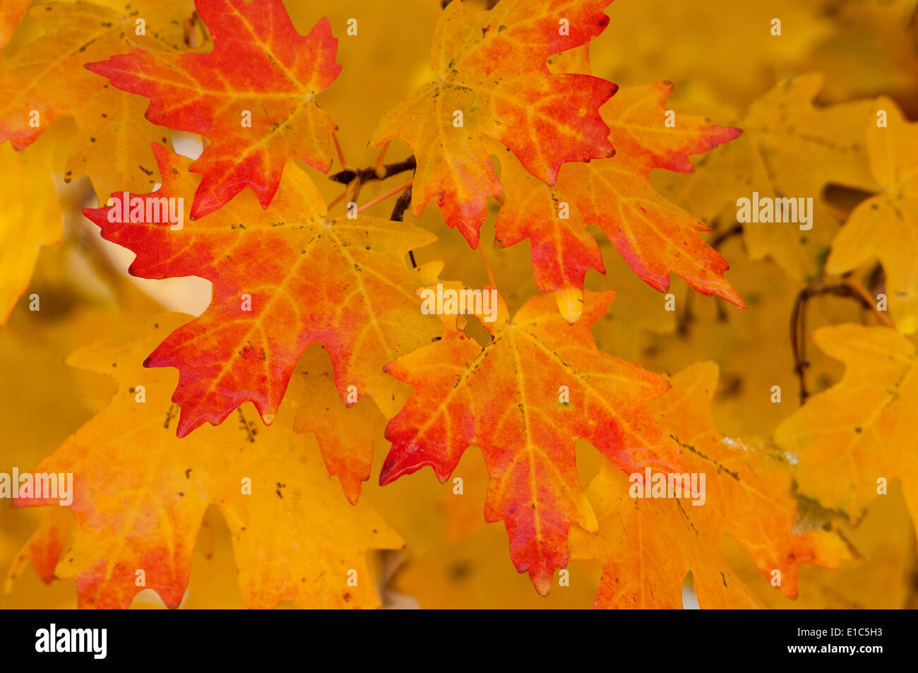 Vivid red and orange maple leaves in autumn. - Stock Image