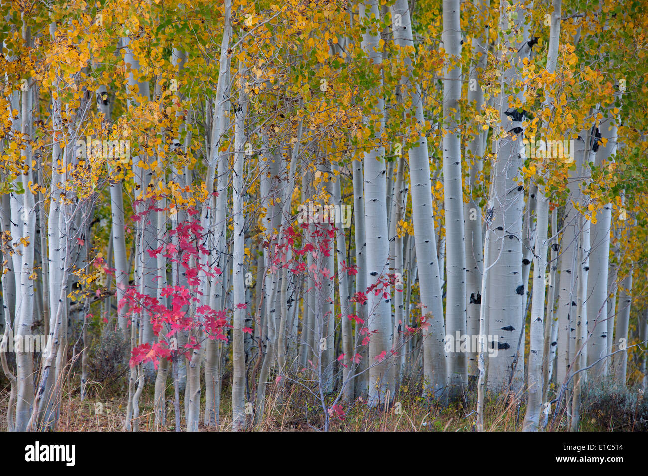 Maple and aspen trees in the national forest of the Wasatch mountains. White bark and slender tree trunks. Stock Photo