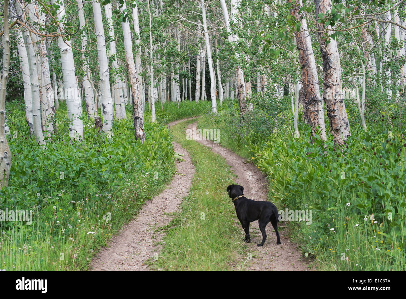 A black labrador dog standing on a deserted path through aspen woods. - Stock Image