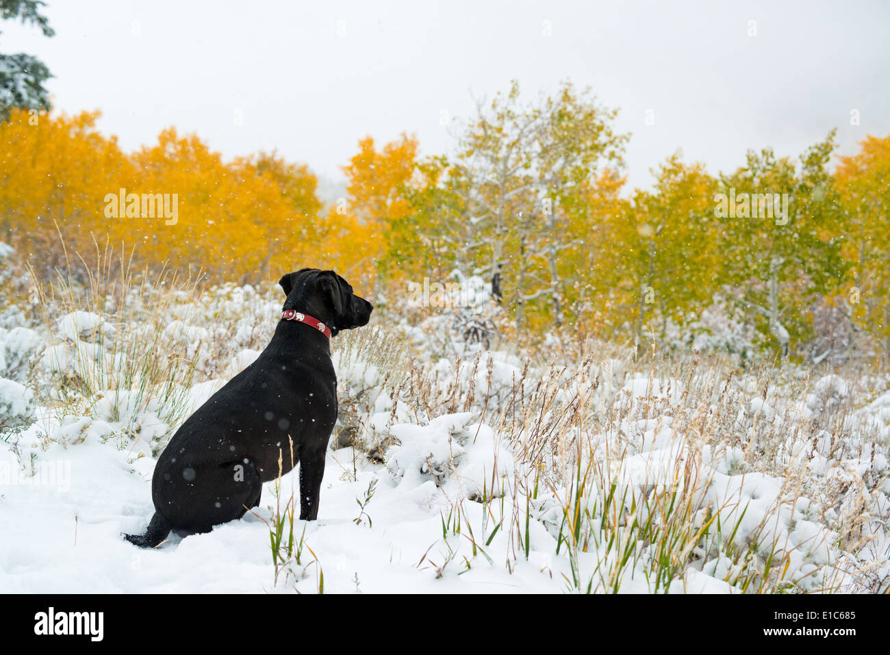 A black labrador dog in snow. - Stock Image