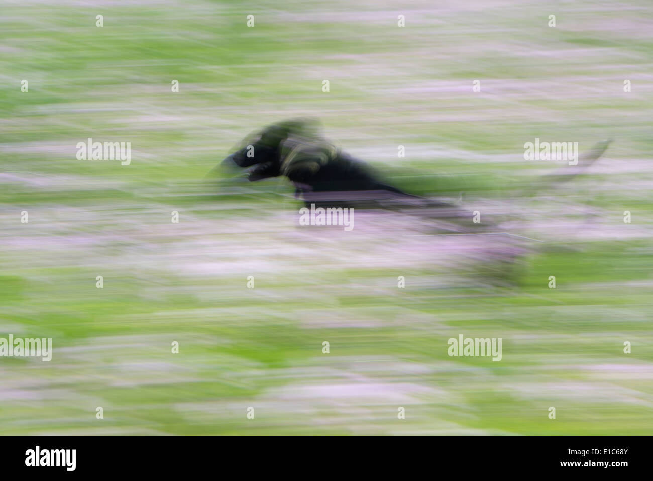 A black labrador dog running through a wildflower meadow. - Stock Image