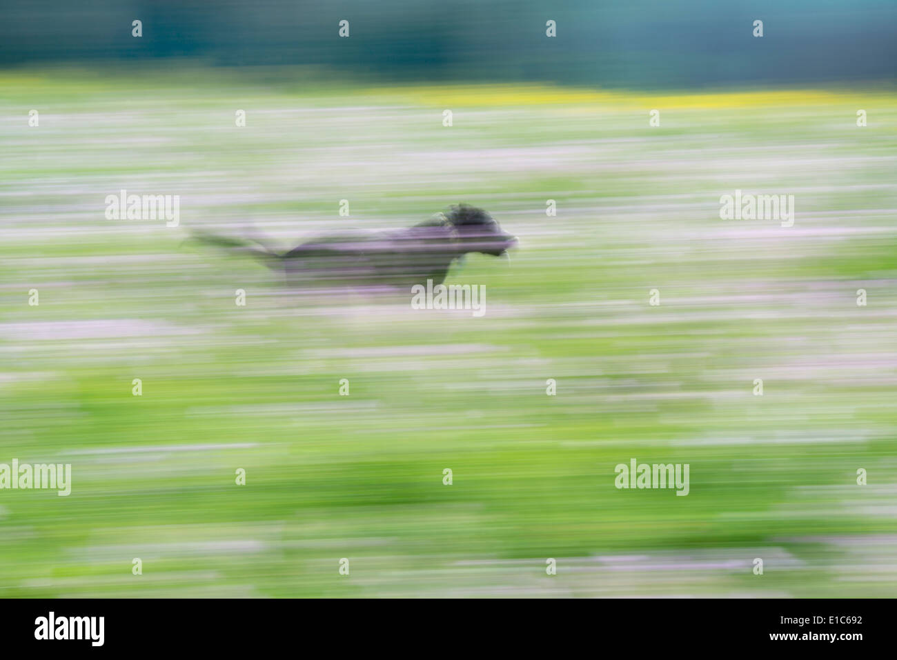 A black labrador dog running through a wildflower meadow. - Stock Image