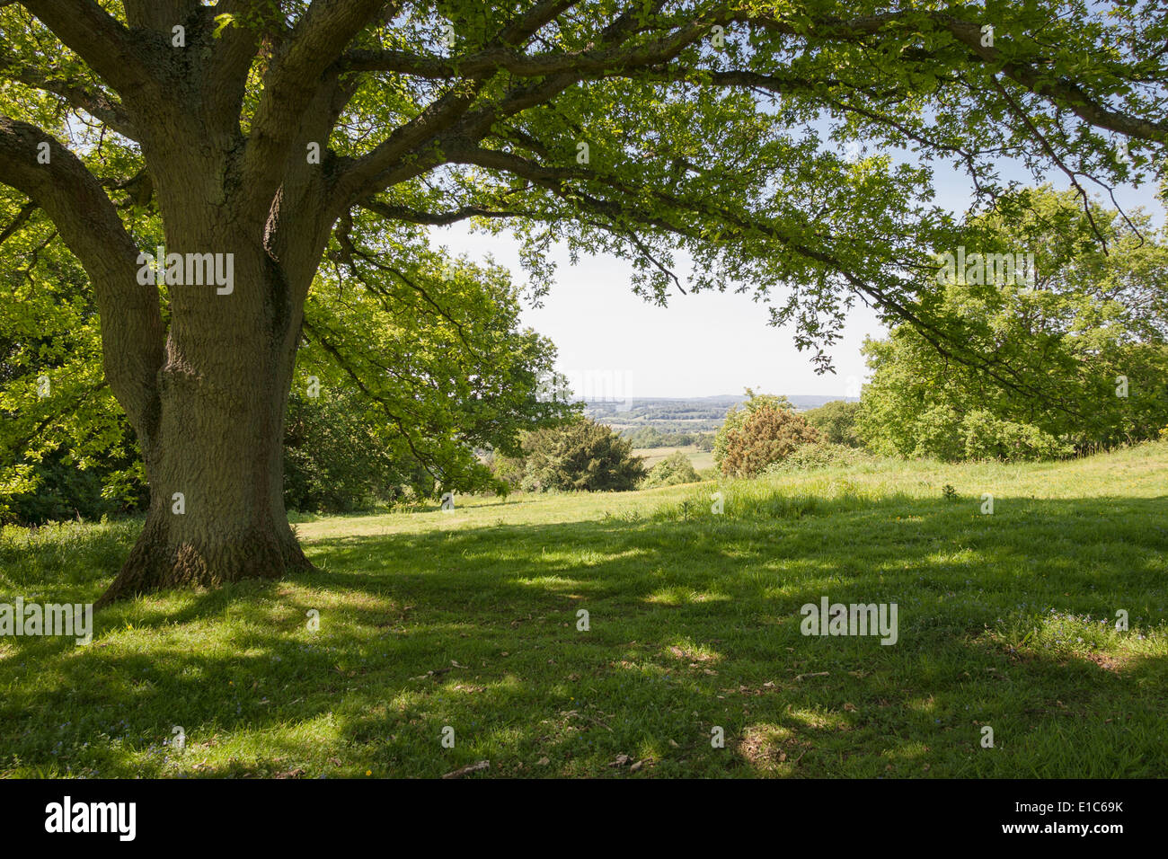 Dappled sunlight under the branches of a large Oak tree at Newlands Corner on the Surrey Hills, Surrey, England, UK - Stock Image