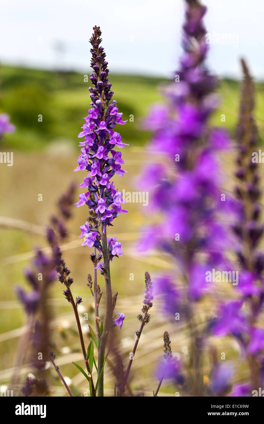 Salvia - Stock Image