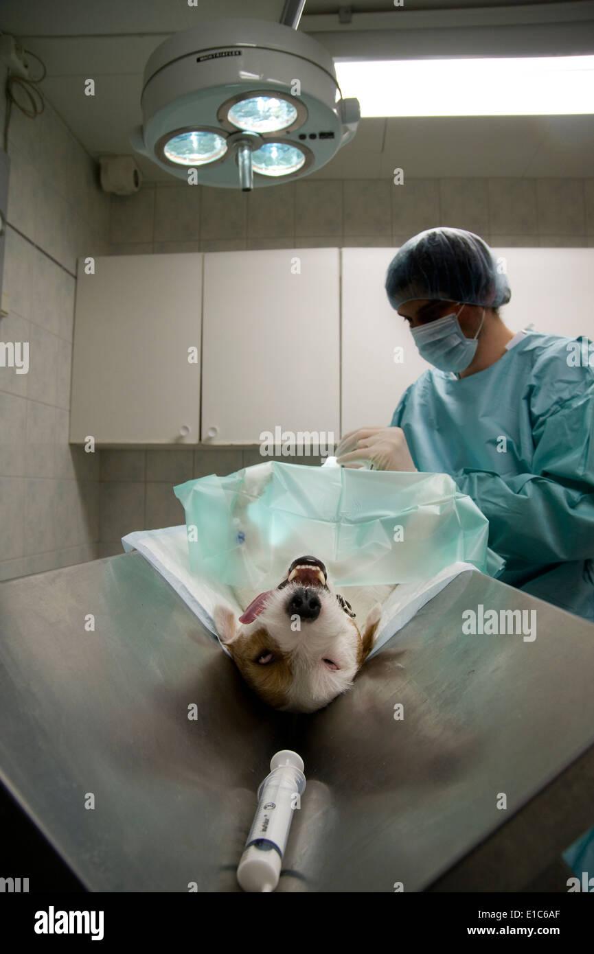 Dog being neutered - Stock Image