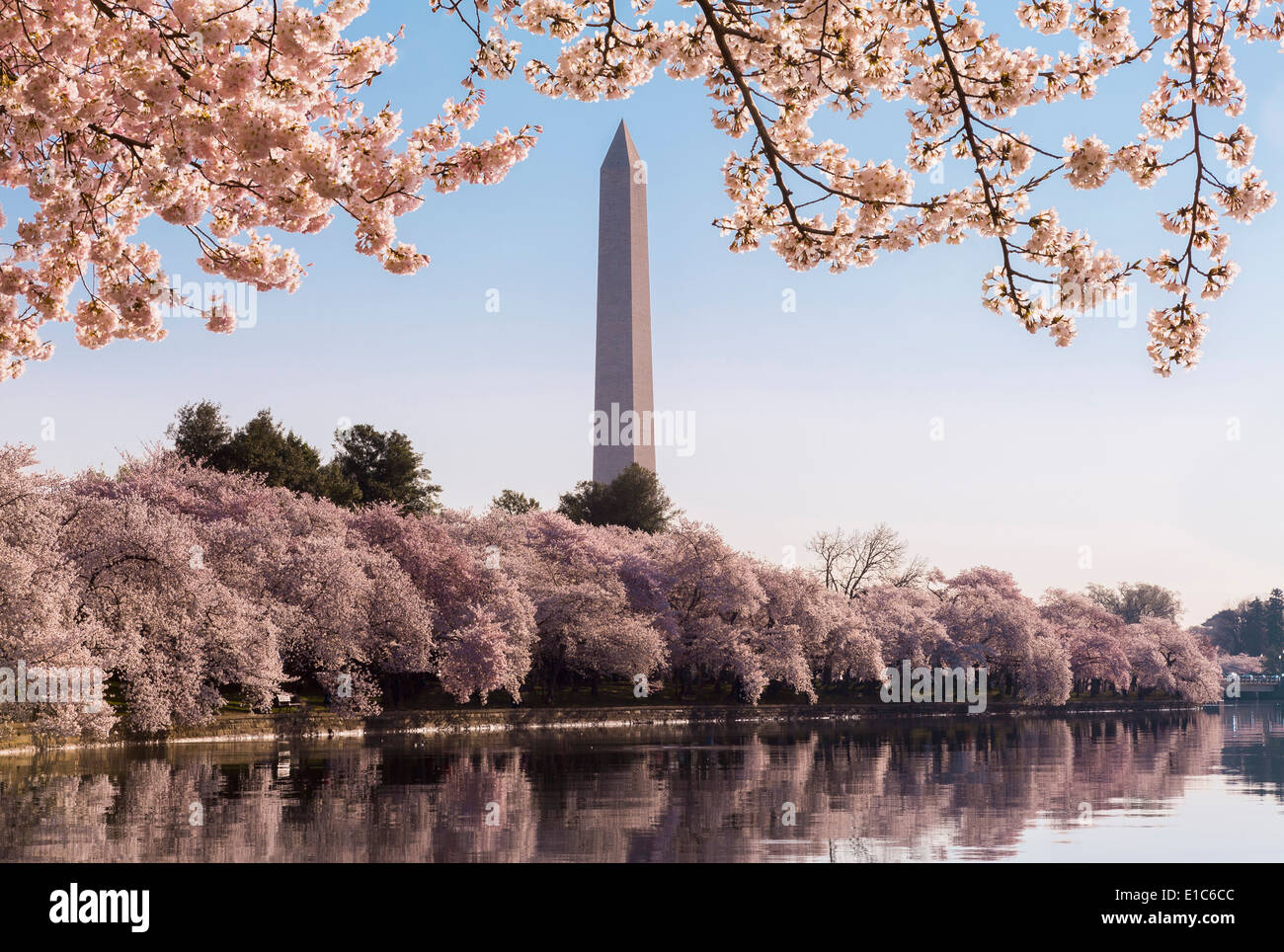 Washington Monument in spring during the Cherry Blossom Festival - Stock Image