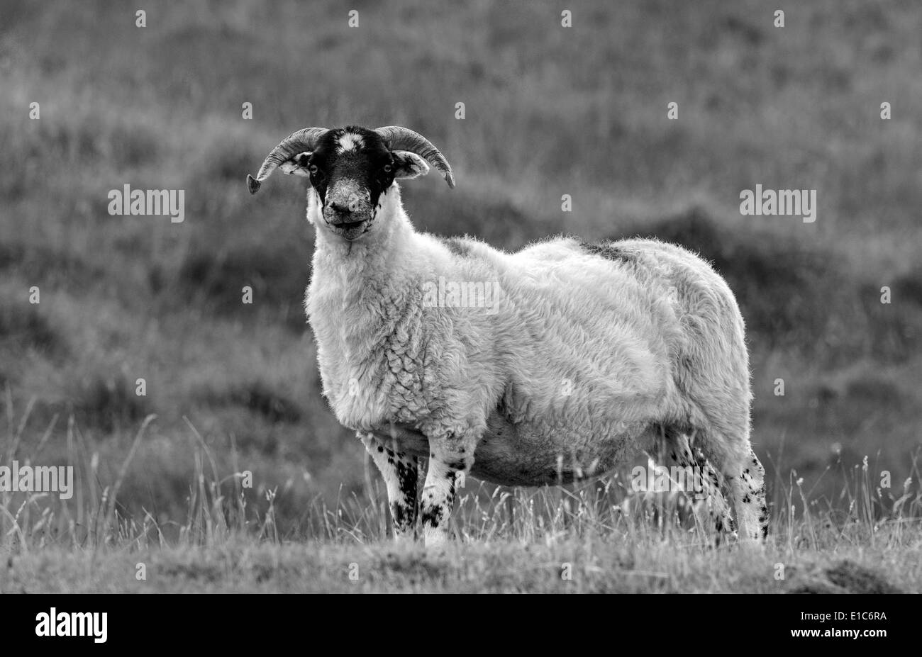 Sheep near Leverborough, on the Island of South Harris - Stock Image
