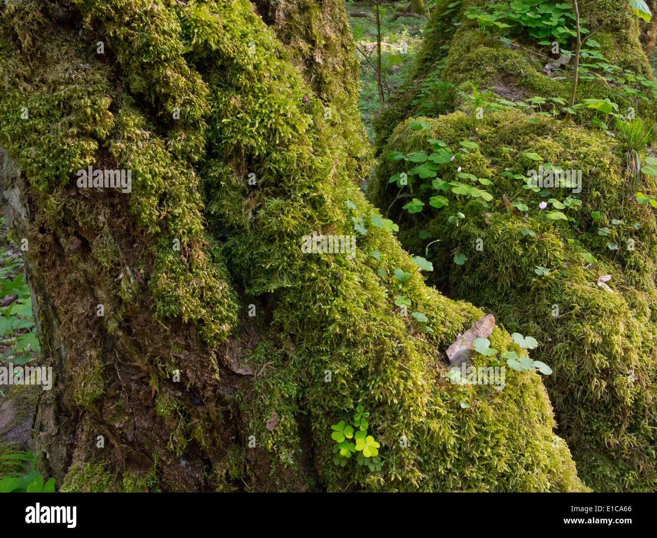 Whole moss wrapped hornbeam tree with some sorrel in springtime - Stock Image