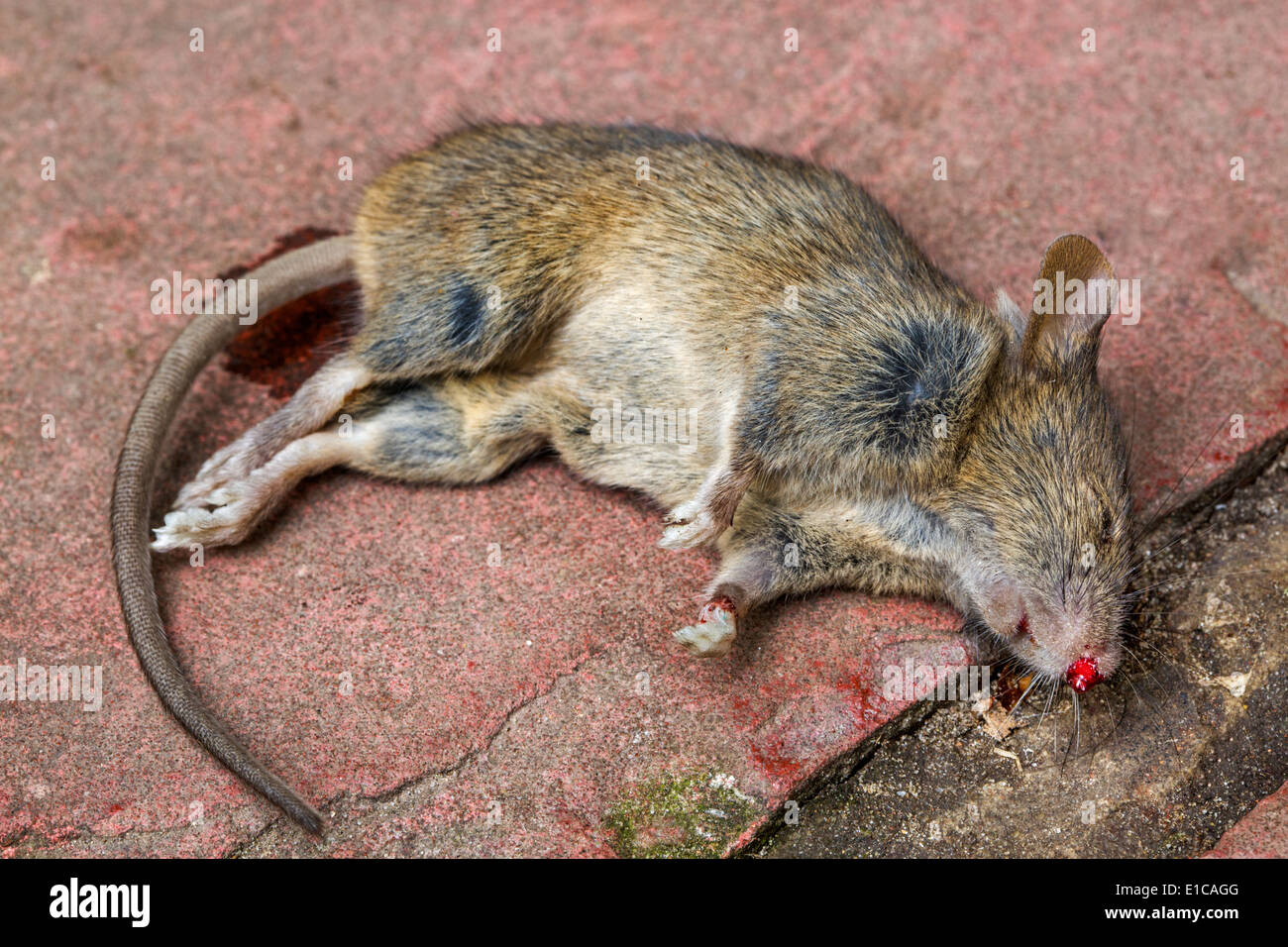Close up of dead juvenile brown rat (Rattus norvegicus) - Stock Image