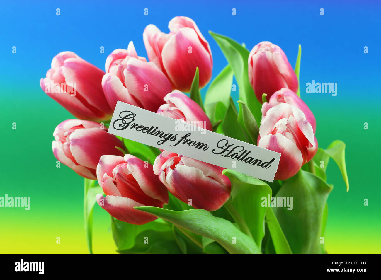 Greetings from holland card with pink tulips on colorful background greetings from holland card with pink tulips on colorful background m4hsunfo