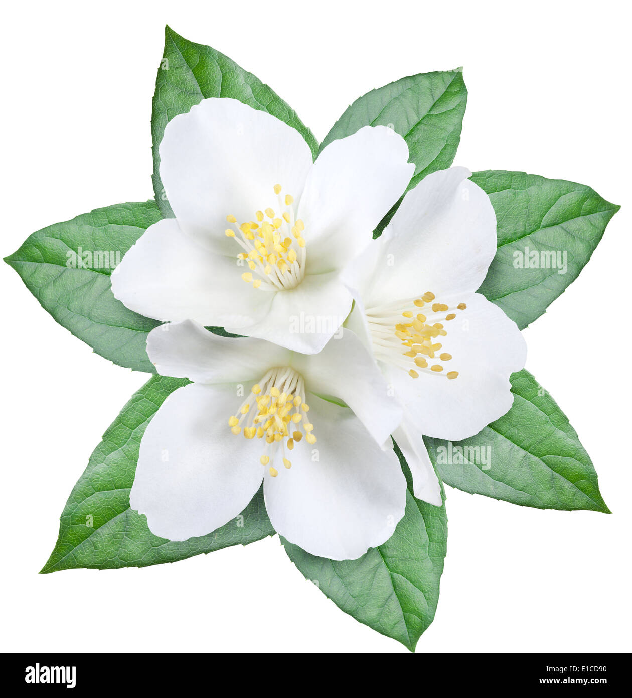 Blooming jasmine flower with leaves. File contains clipping path. - Stock Image