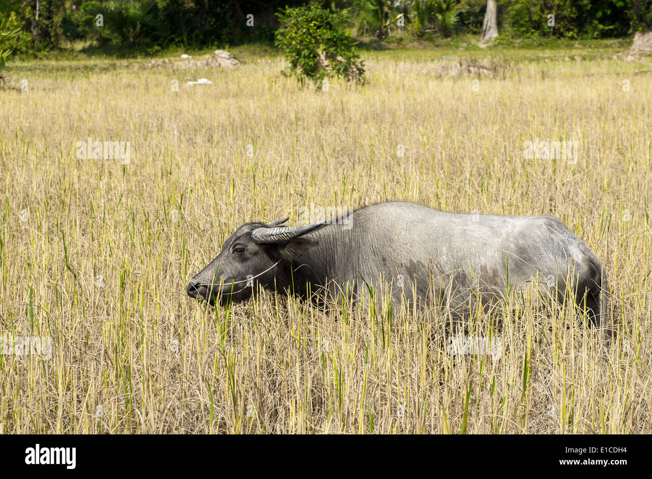 The wild water buffalo (Bubalus arnee), also called Asian buffalo and Asiatic buffalo, is a large bovine native to Southeast Asia - Stock Image
