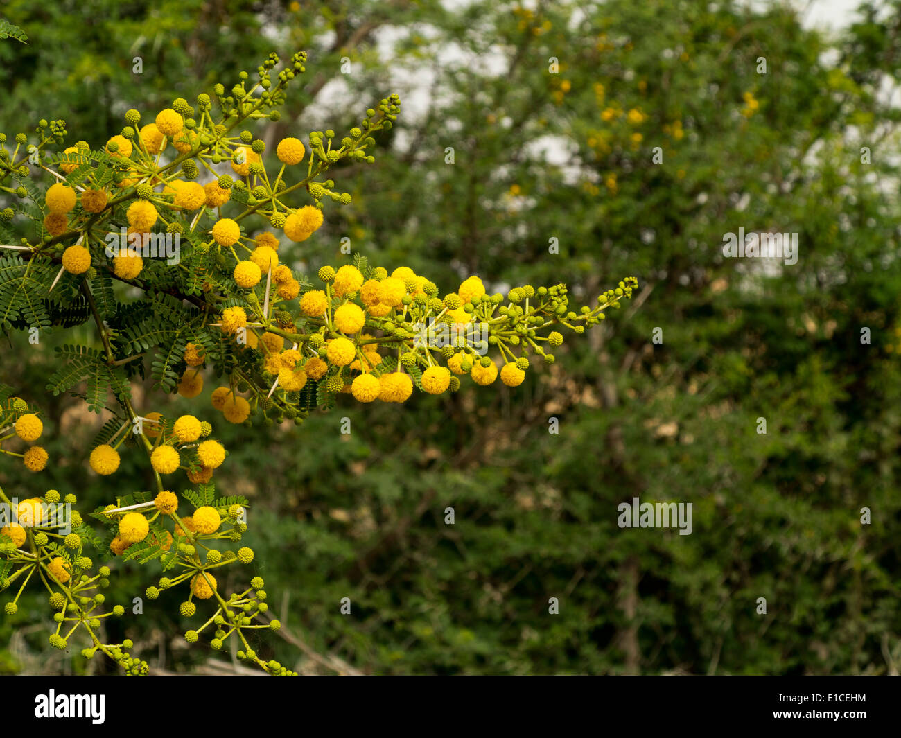 Detail Of A Vachellia Farnesiana Bush With Yellow Flowers Stock