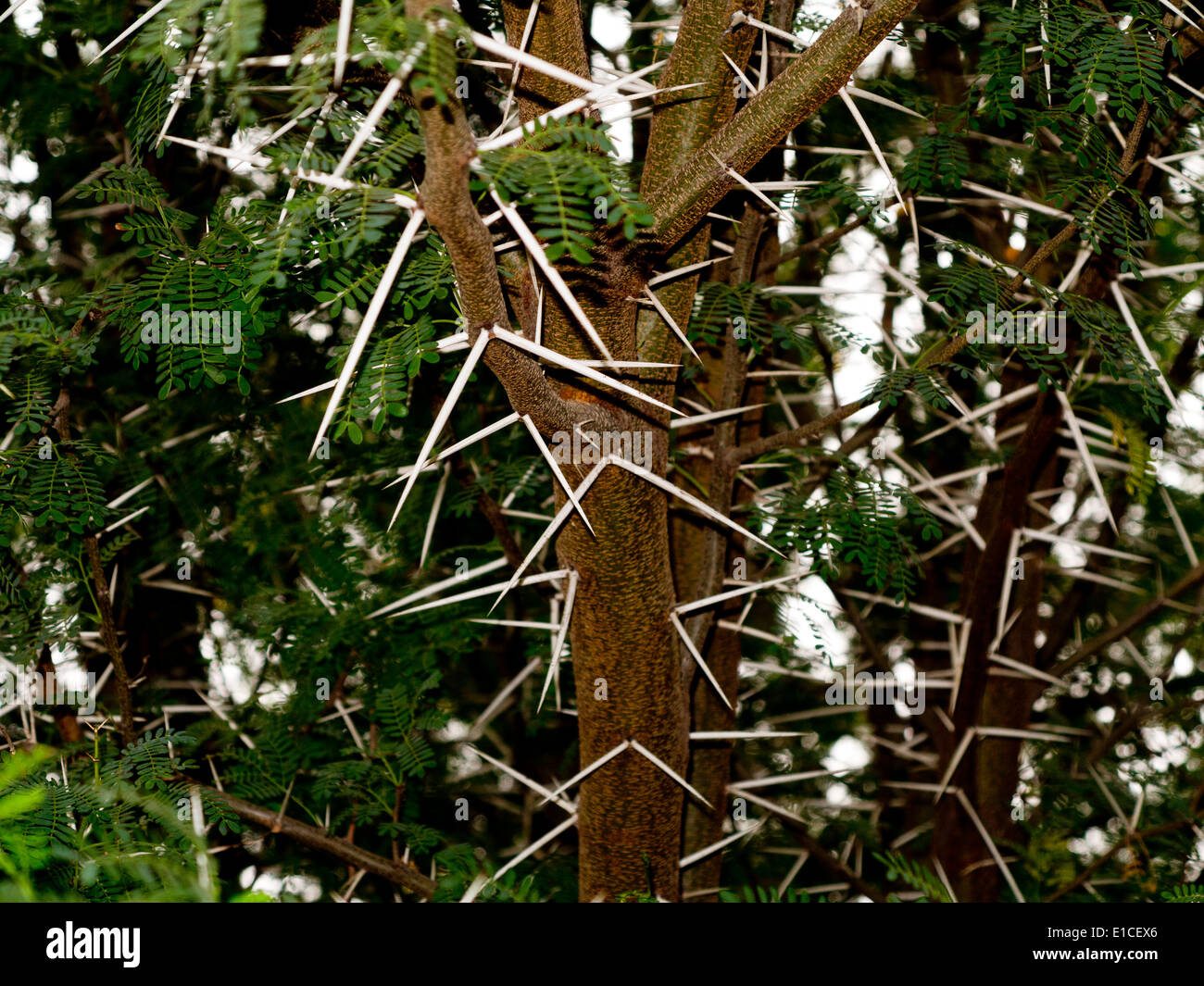 Detail of a Vachellia farnesiana bush with prominent spines - Stock Image
