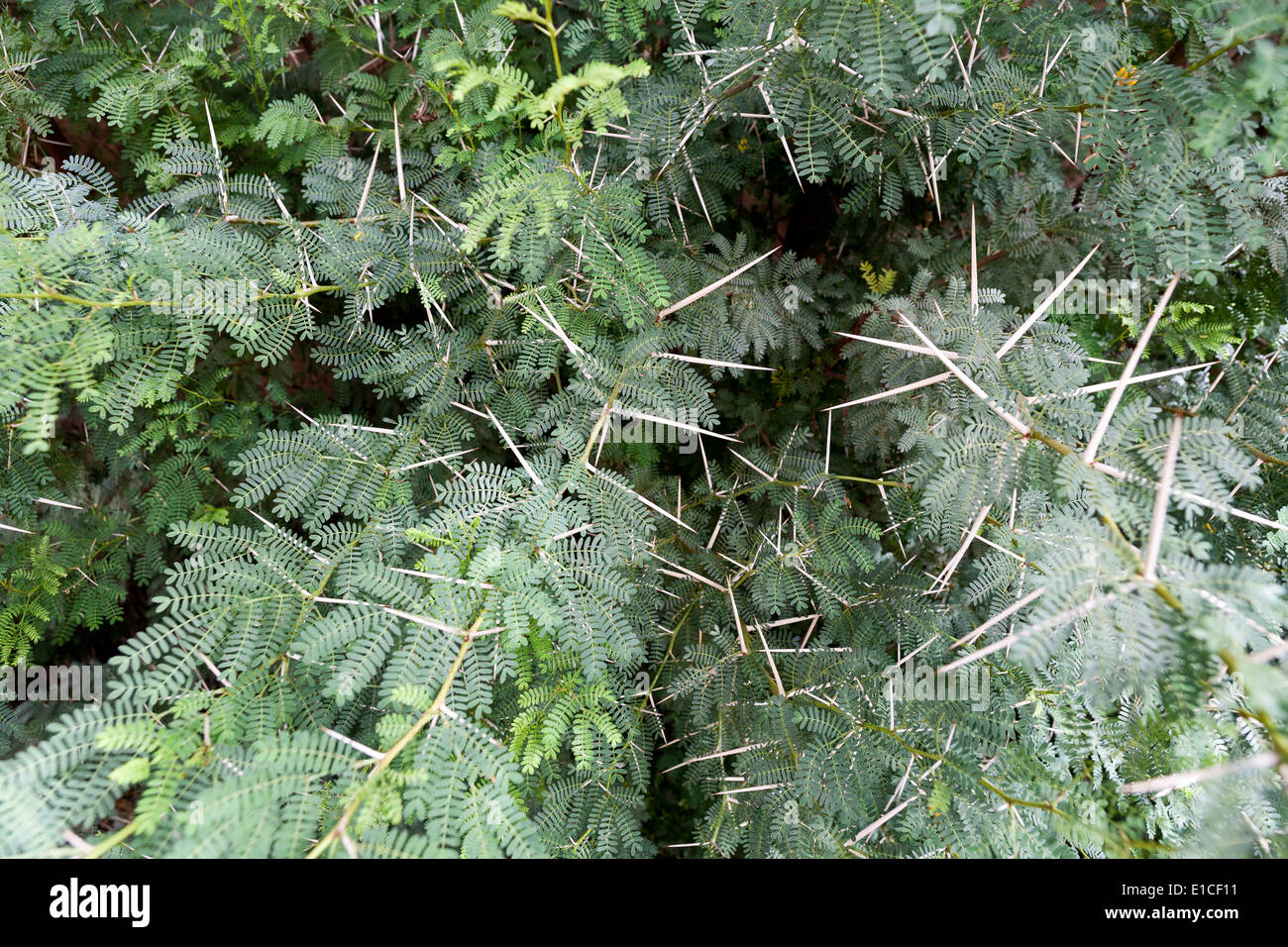 Detail of a Vachellia farnesiana bush showing leaves and spines - Stock Image