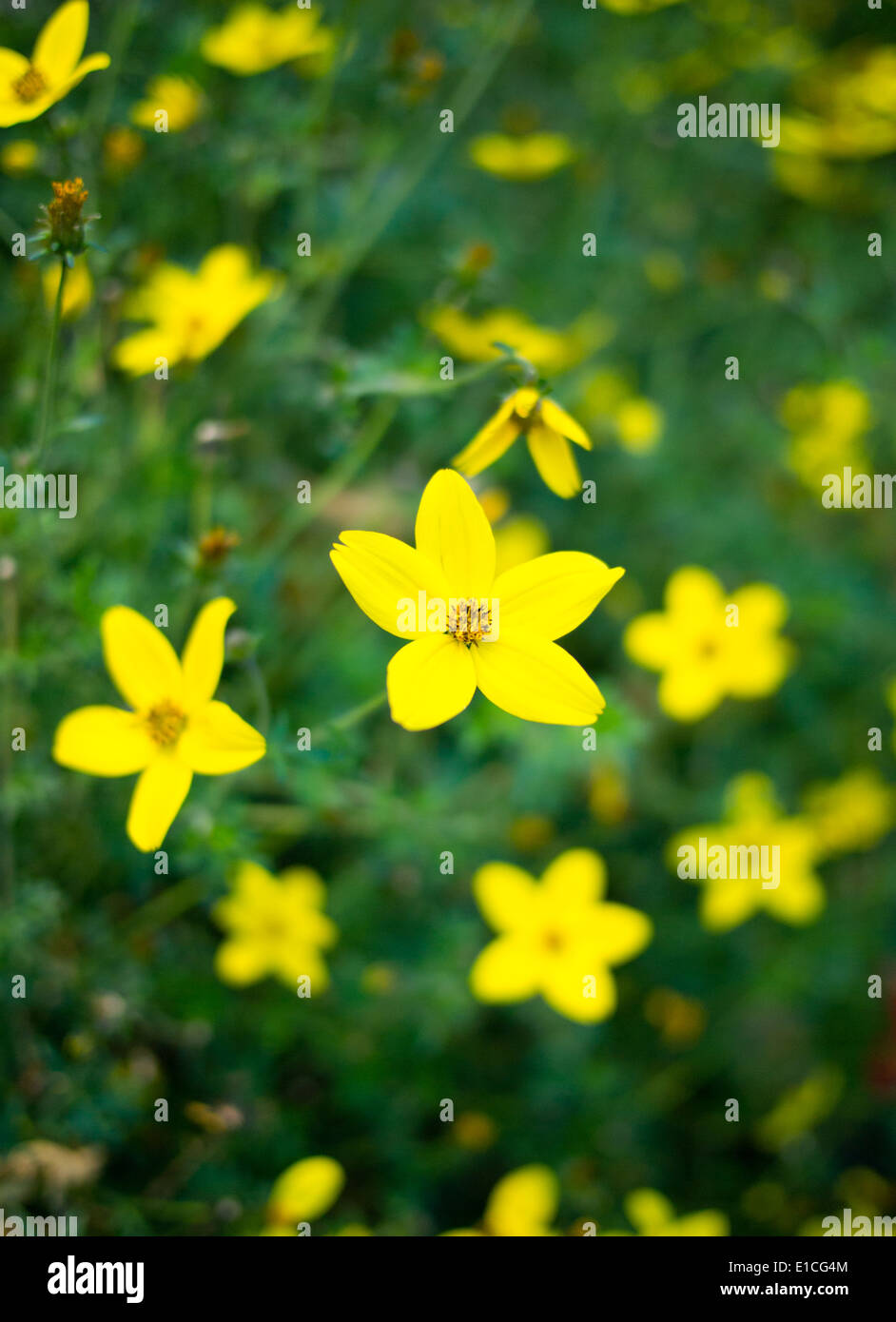 The Bright Yellow Flowers Of A Shrubby Cinquefoil Potentilla Stock