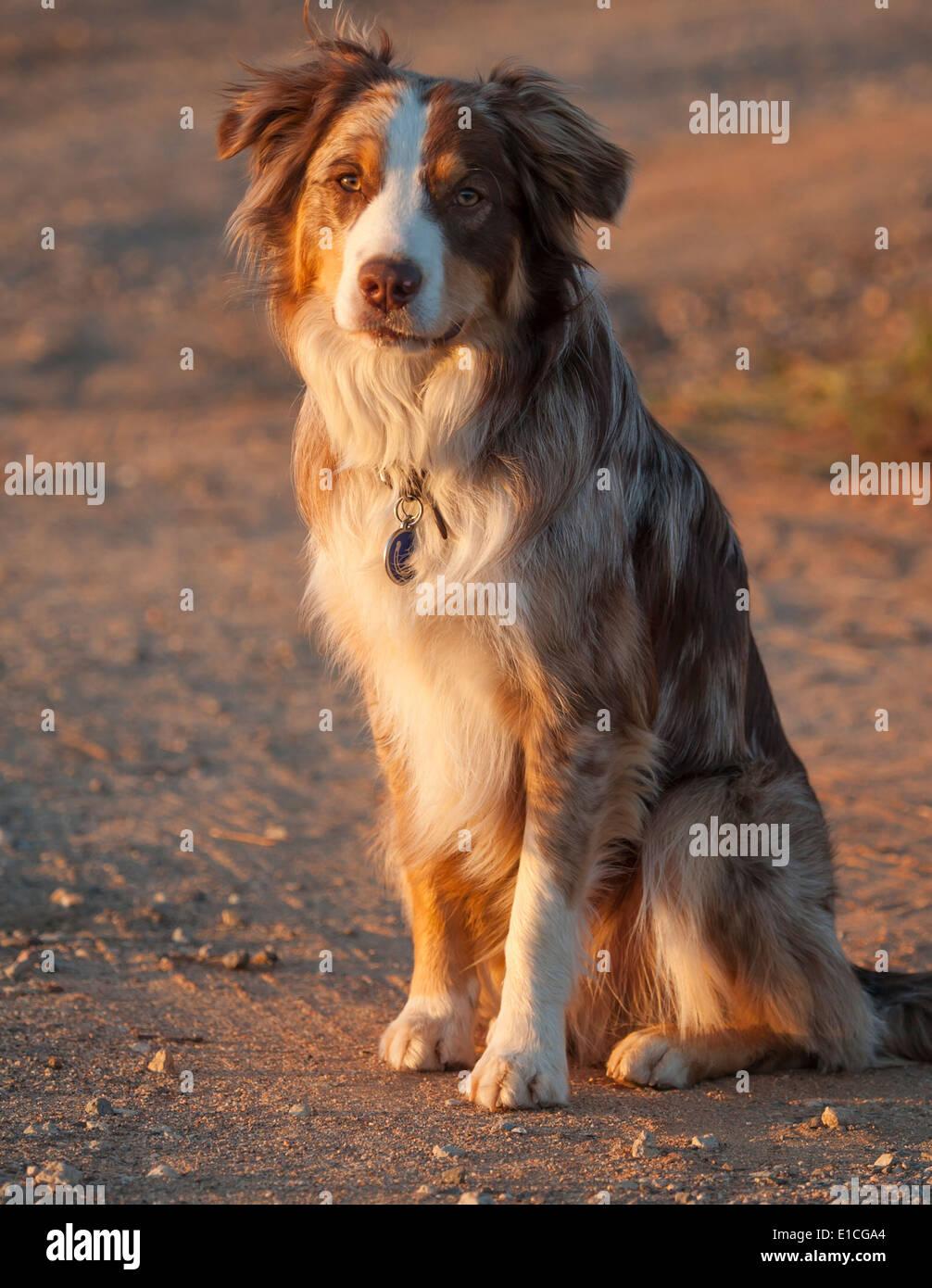 Australian Cattle Dog-Border Collie mix - Stock Image