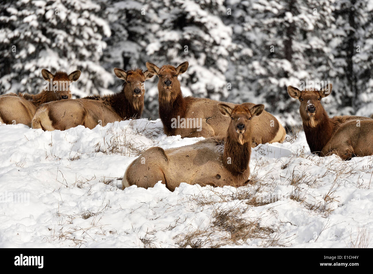 A herd of female elk lying on a snow covered hill top - Stock Image