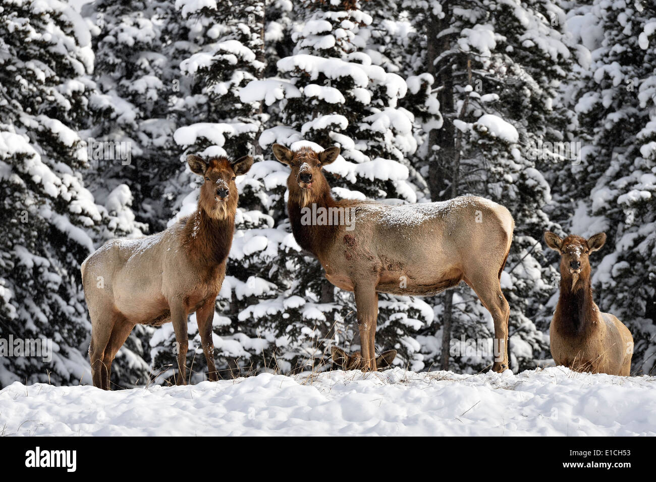 Three wild female elk standing on a snow covered hill alert looking forward - Stock Image